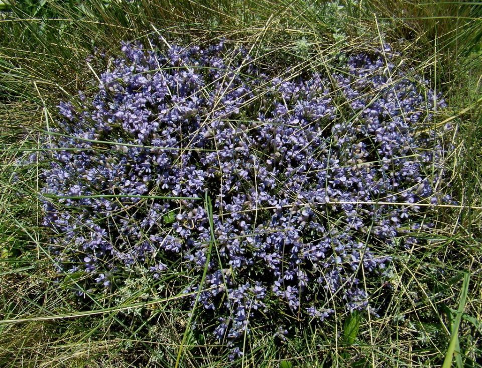 Erinacea anthyllis arbusto