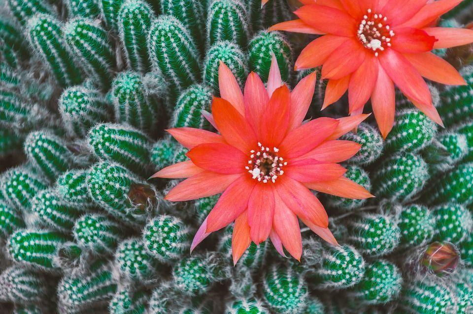 Florecer cactus