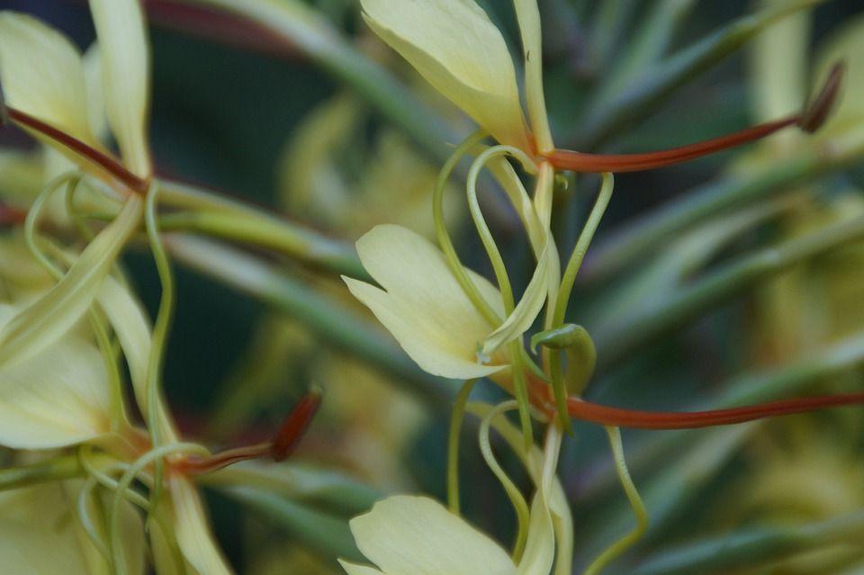 Hedychium gardnerianum planta
