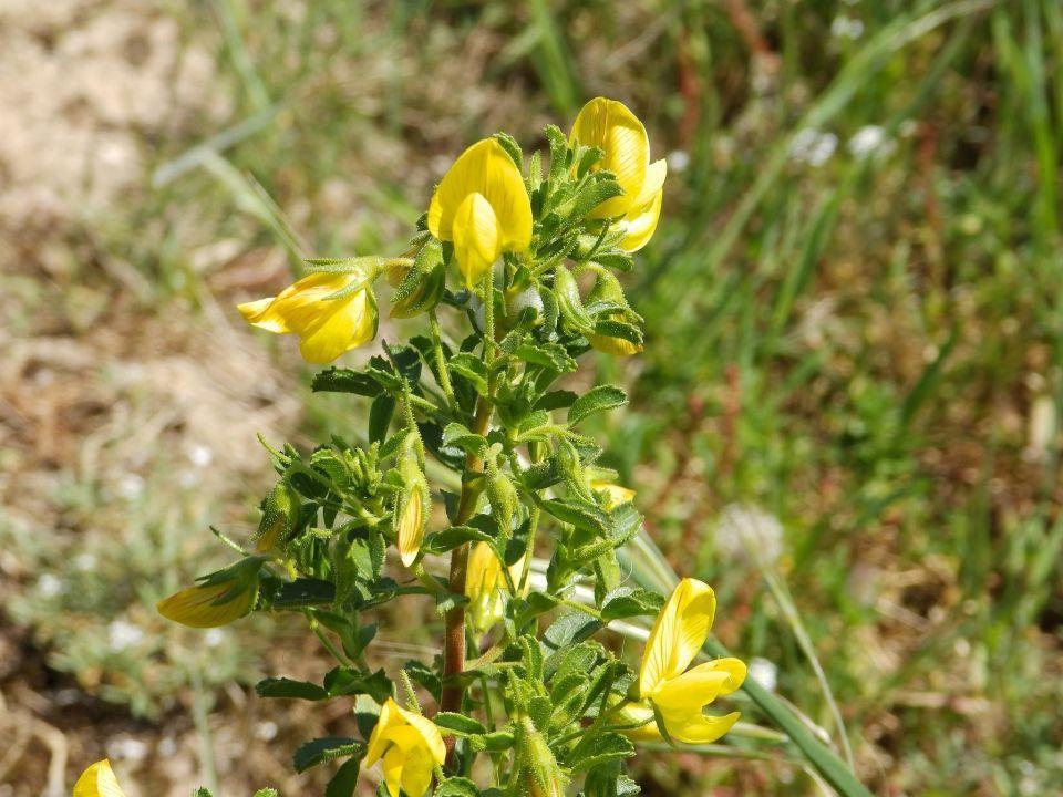 Ononis natrix planta