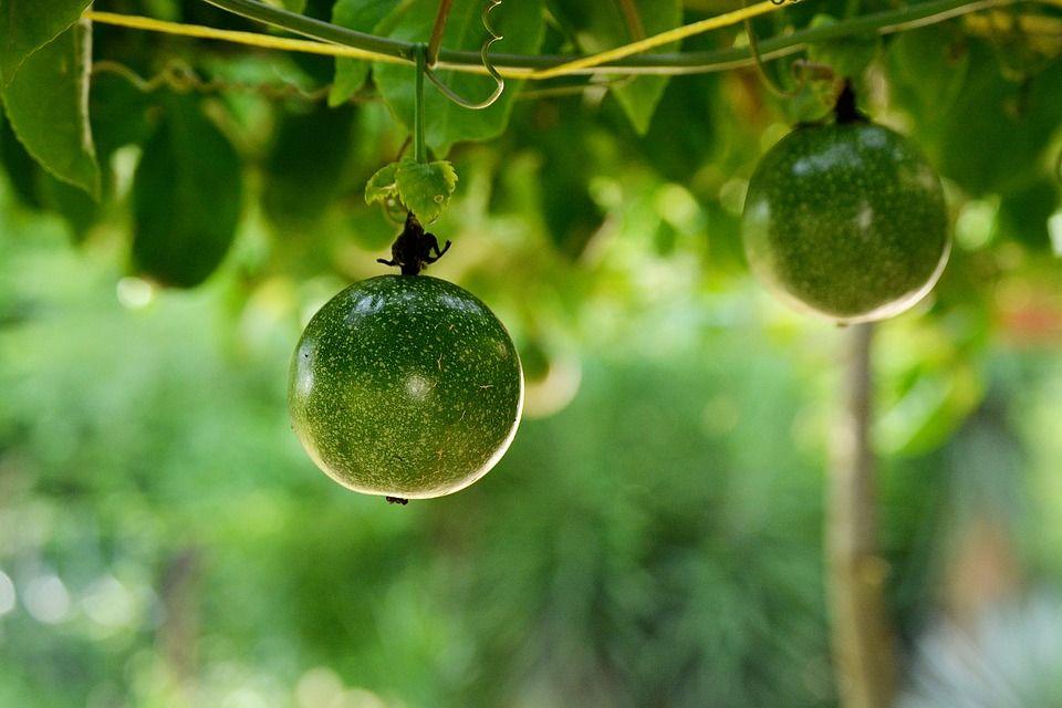 Passiflora edulis cultivo