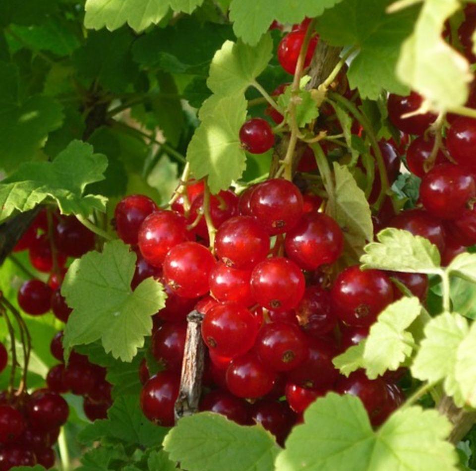 Ribes grossularia