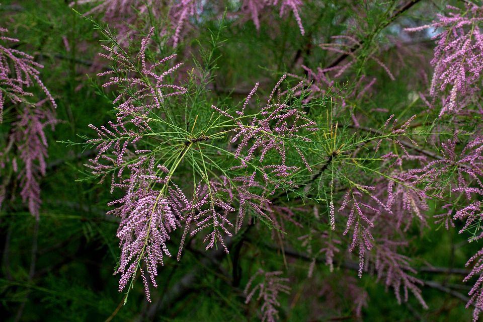 Tamarix ramosissima arbusto