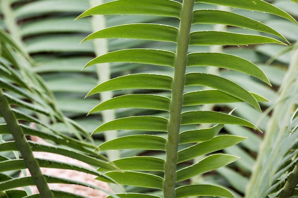 Zamia furfuracea planta