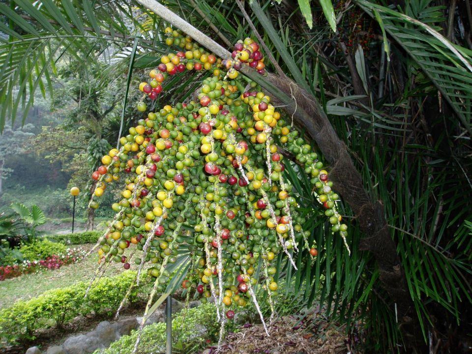 Arenga engleri palmera