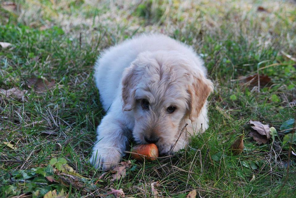Beneficios perro zanahoria