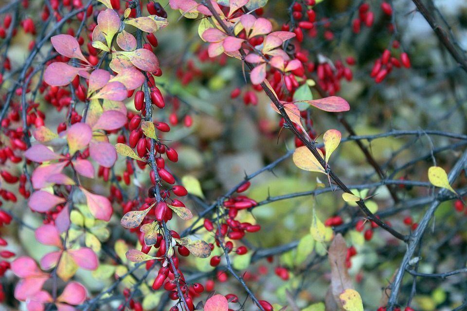 Berberis thunbergii arbusto