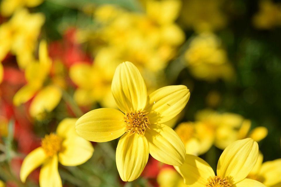 Bidens ferulifolia planta