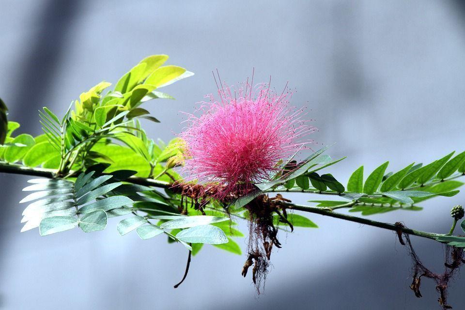 Calliandra tweedii arbusto