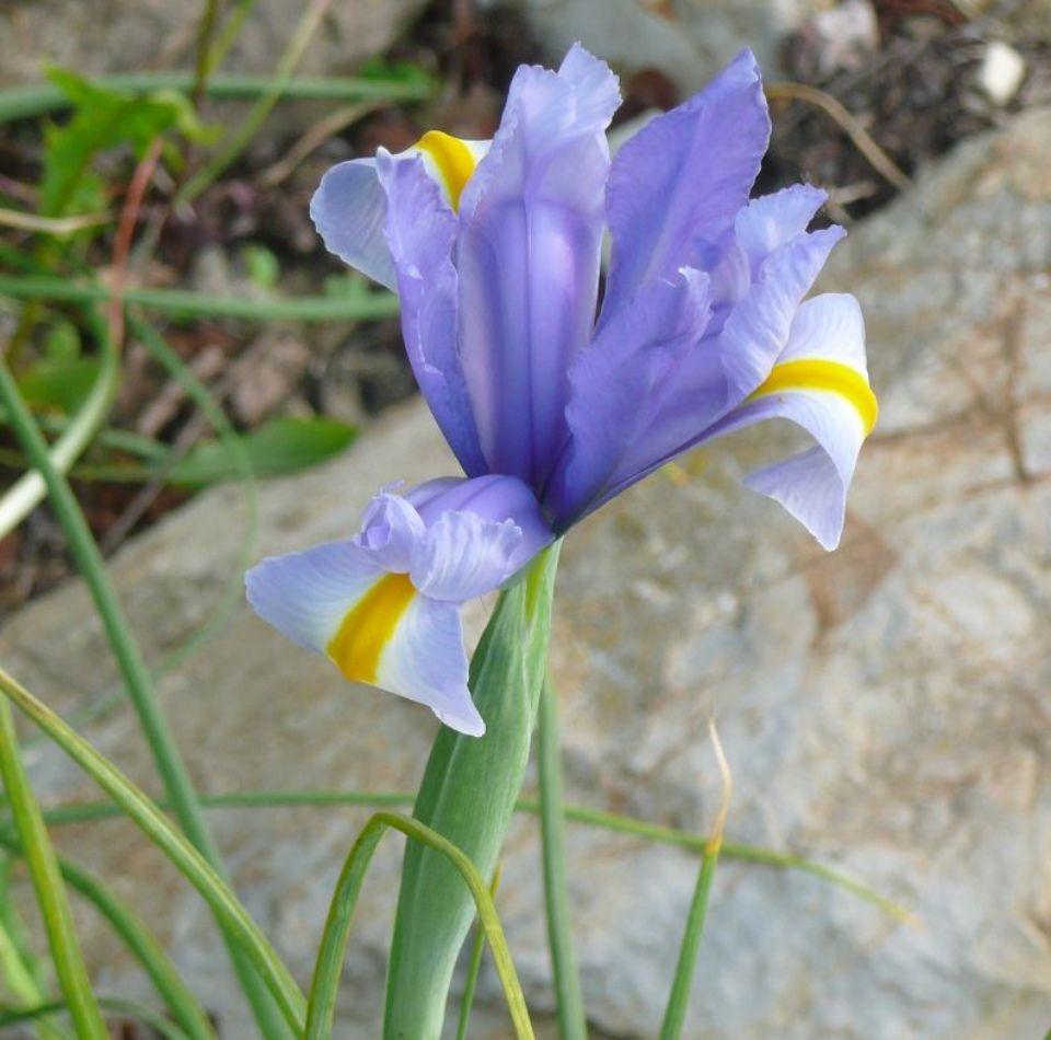 Iris xiphium planta