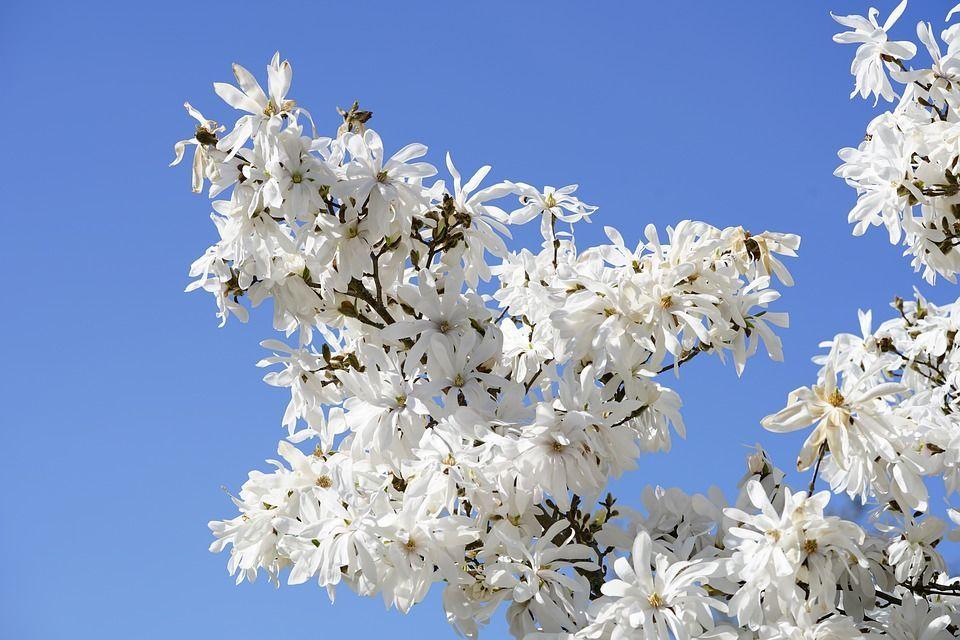 Magnolia stellata arbusto
