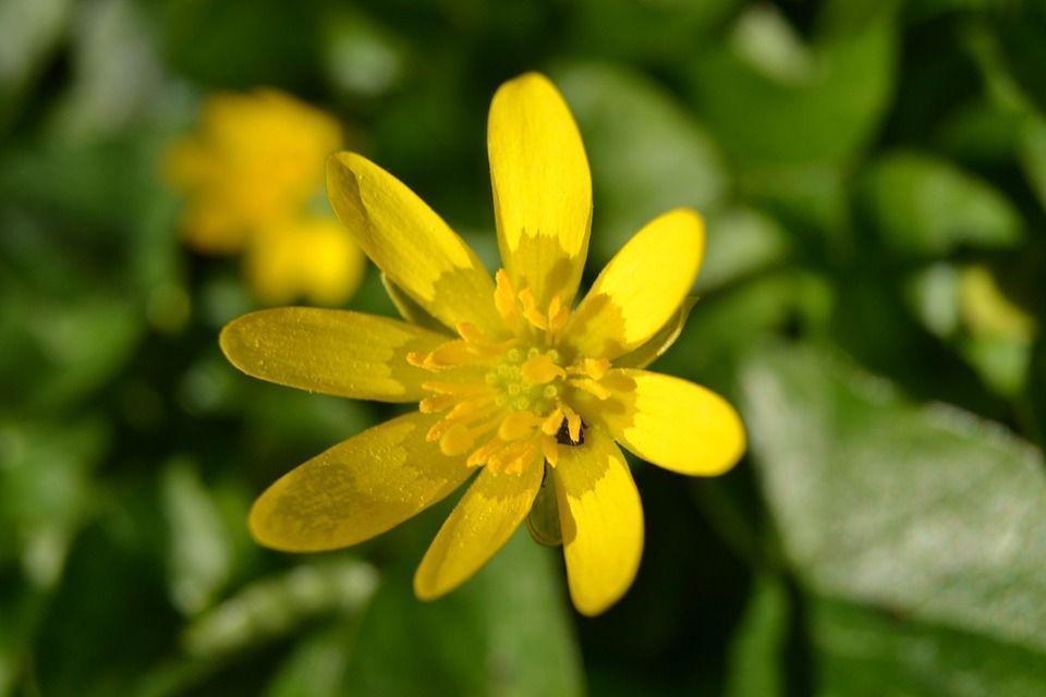 Ranunculus ficaria planta