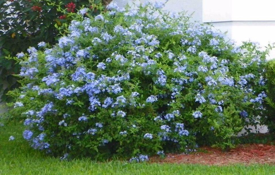 Conoce 3 tipos de arbusto siempre verde para tu jard n for Tipos de arboles y sus caracteristicas