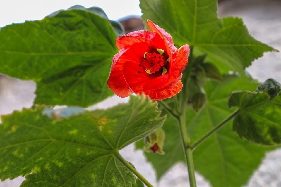 Abutilon x hybridum