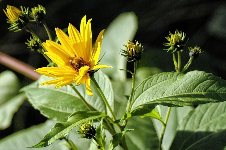 Helianthus tuberosus planta
