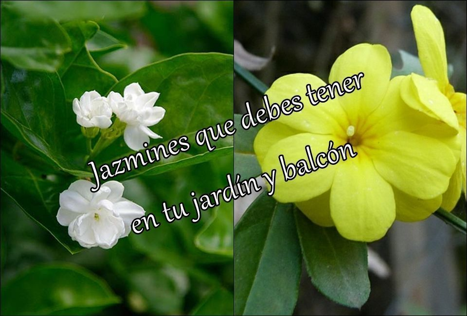 Jazmines