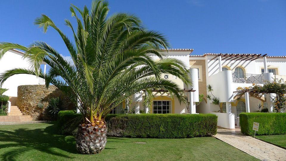 Jubea chilensis palmera