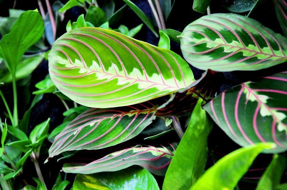 Maranta leuconeura planta
