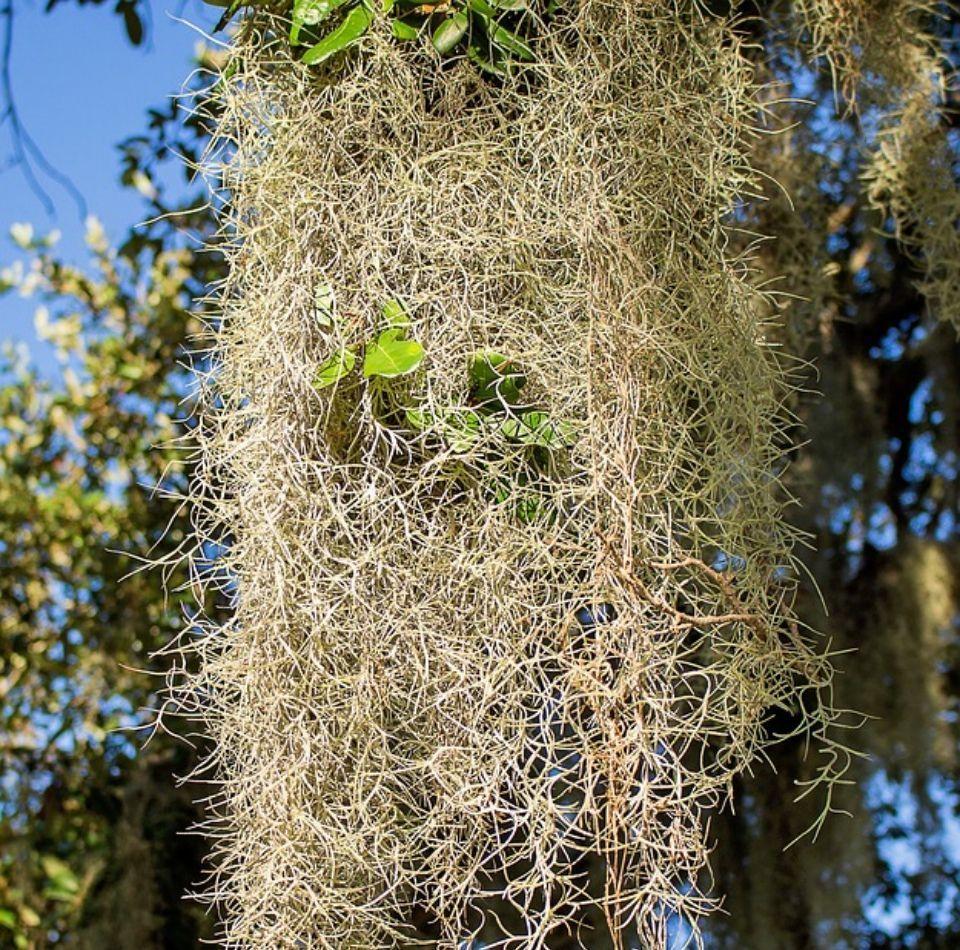 Tillandsia usneoides planta