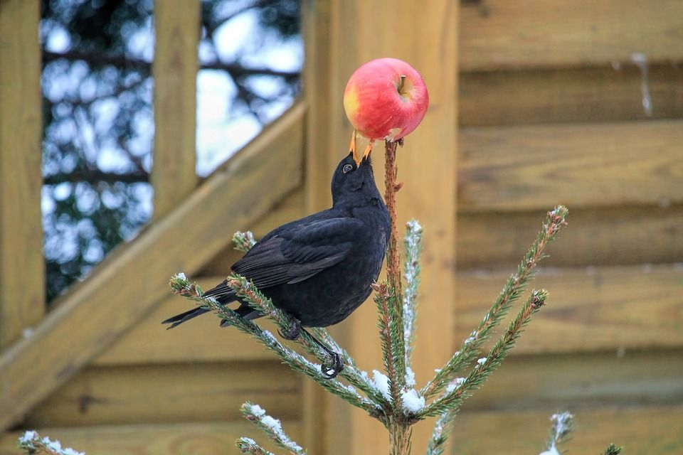 Aves frutos