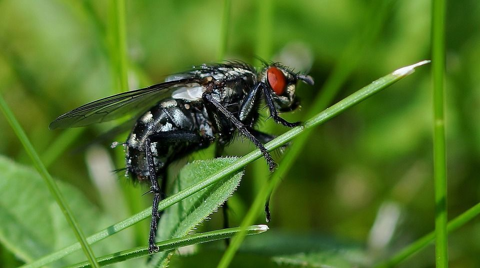 Mosca negra insecto