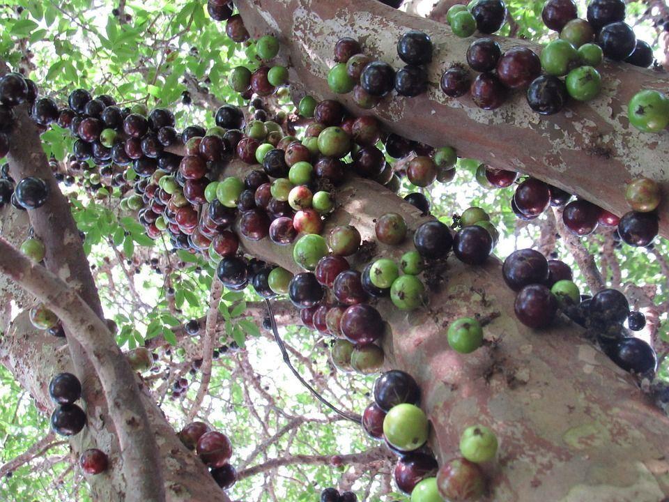 Myrciaria cauliflora planta