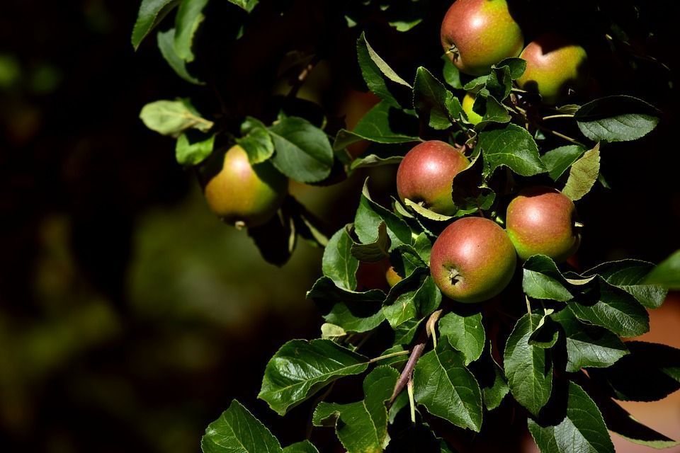 Plantar manzano maceta