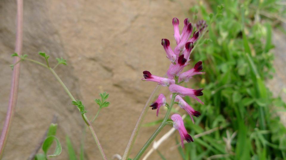 Platycapnos spicata planta