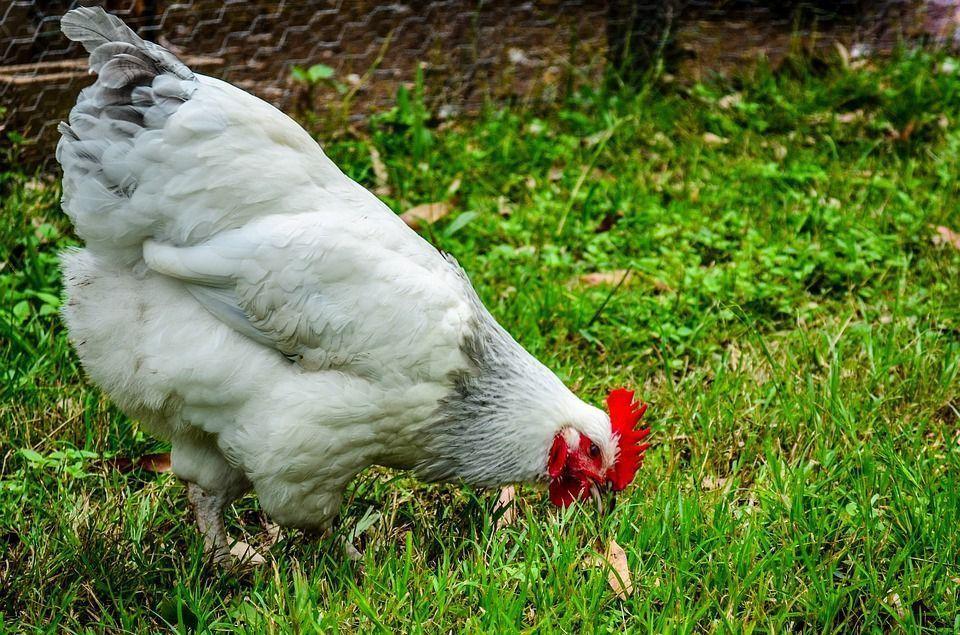 Concentrados caseros gallina