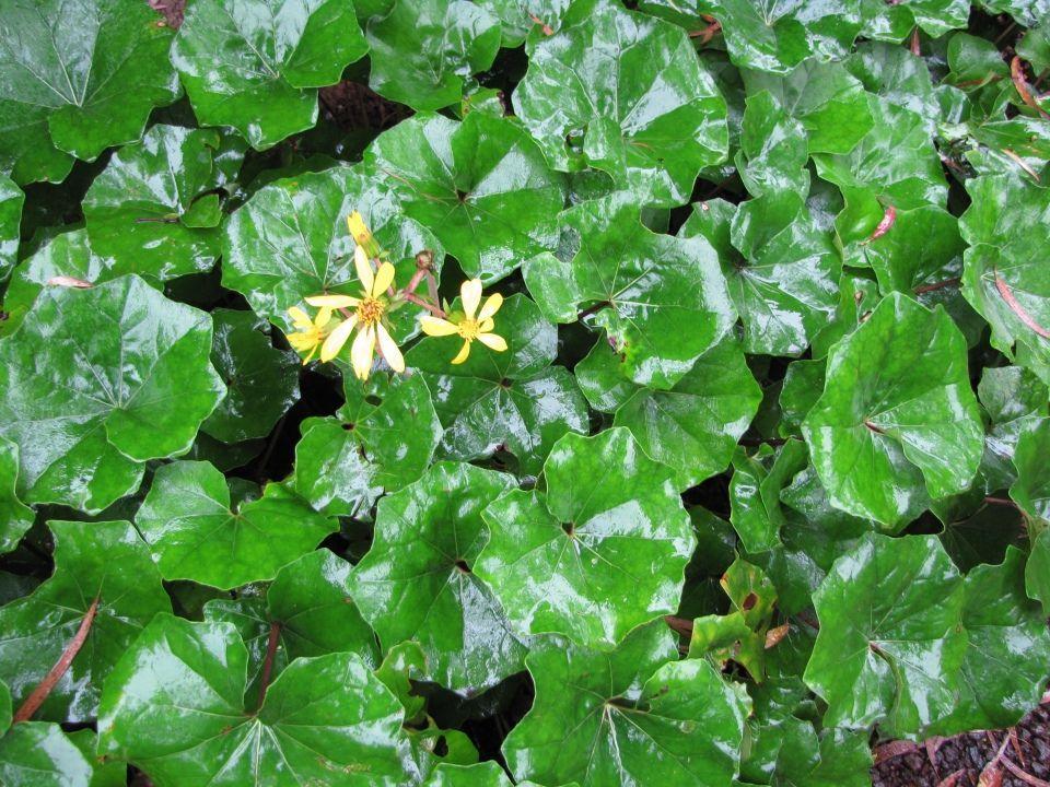 Farfugium japonicum planta