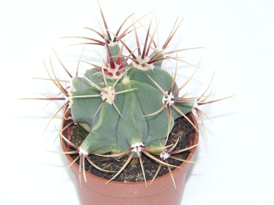 Ferricactus latispinus cactus