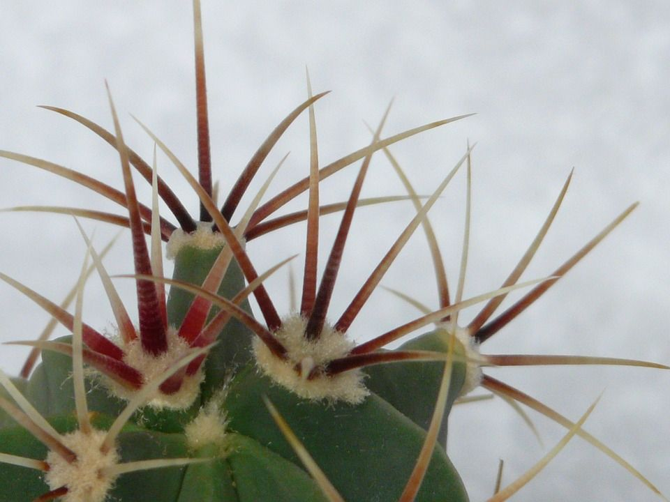 Ferricactus latispinus