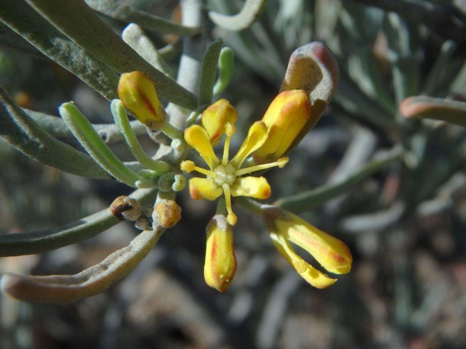 Neochamaelea pulverulenta arbusto