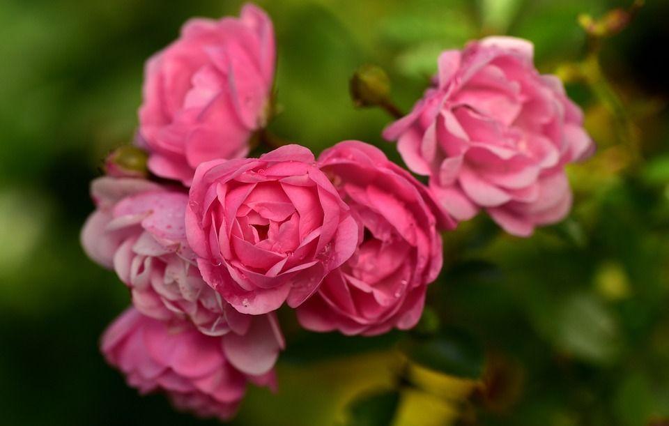 Rosas sales
