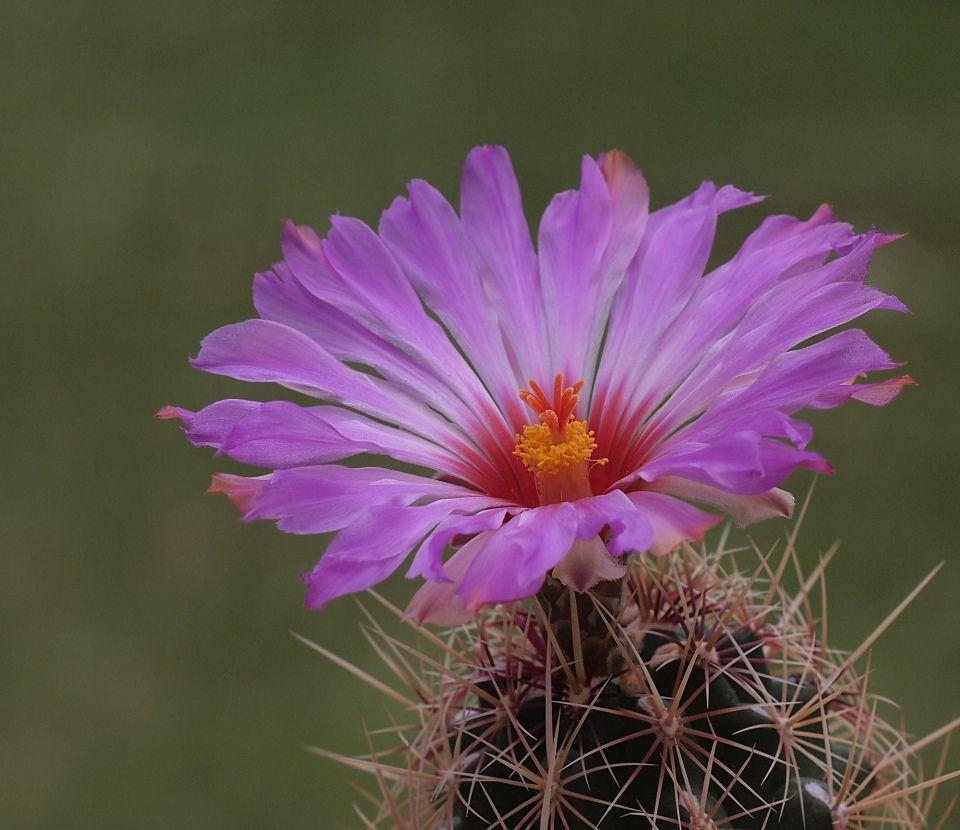 Thelocactus bicolor cactus