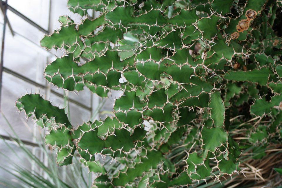 Euphorbia grandicornis suculenta