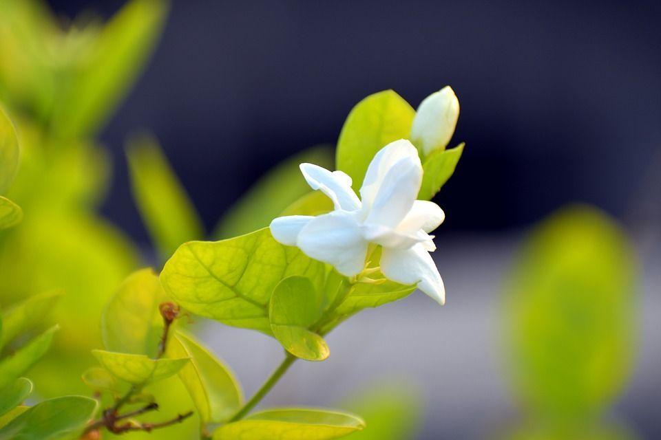 Jasminumsambac planta