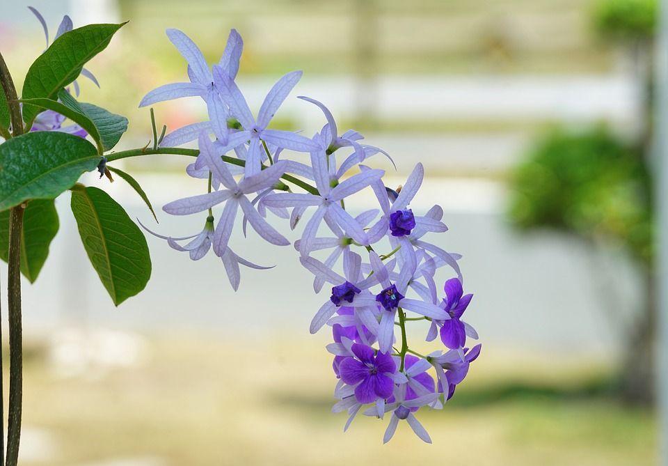 Petrea volubilis planta