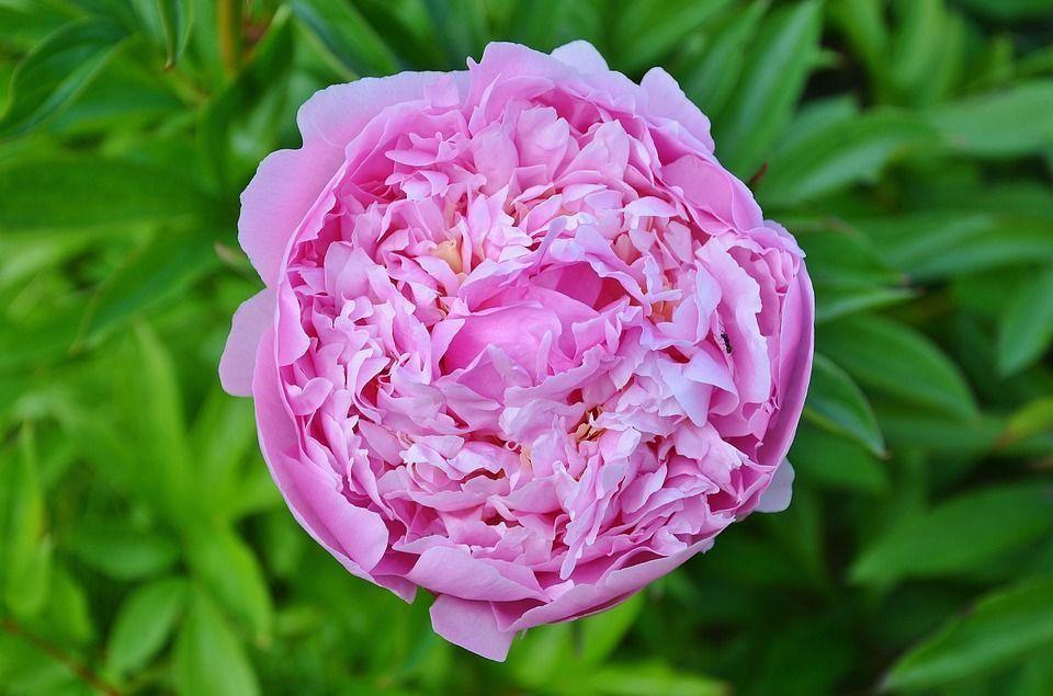 Rosa damascena cuidados