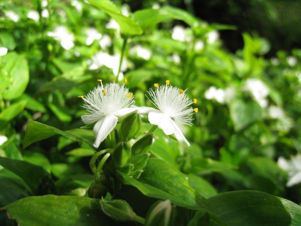 Tradescantia fluminensis planta