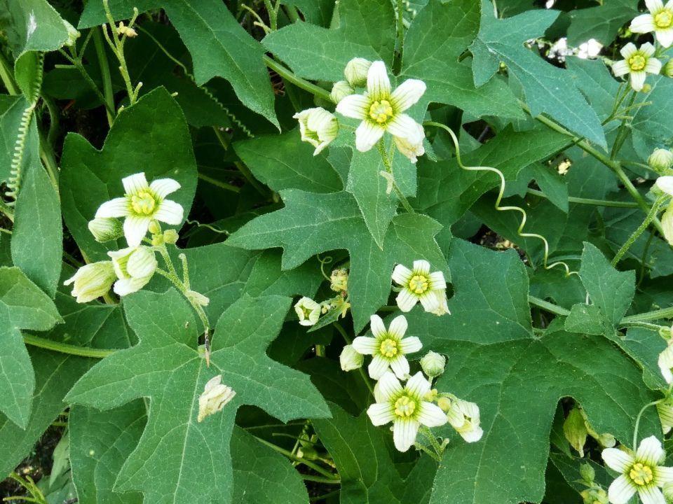 Bryonia cretica ssp. dioica