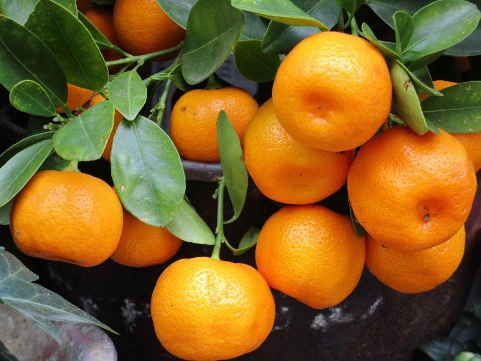 Cultivo mandarinas maceta