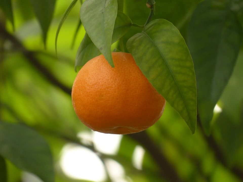Mandarina cultivo