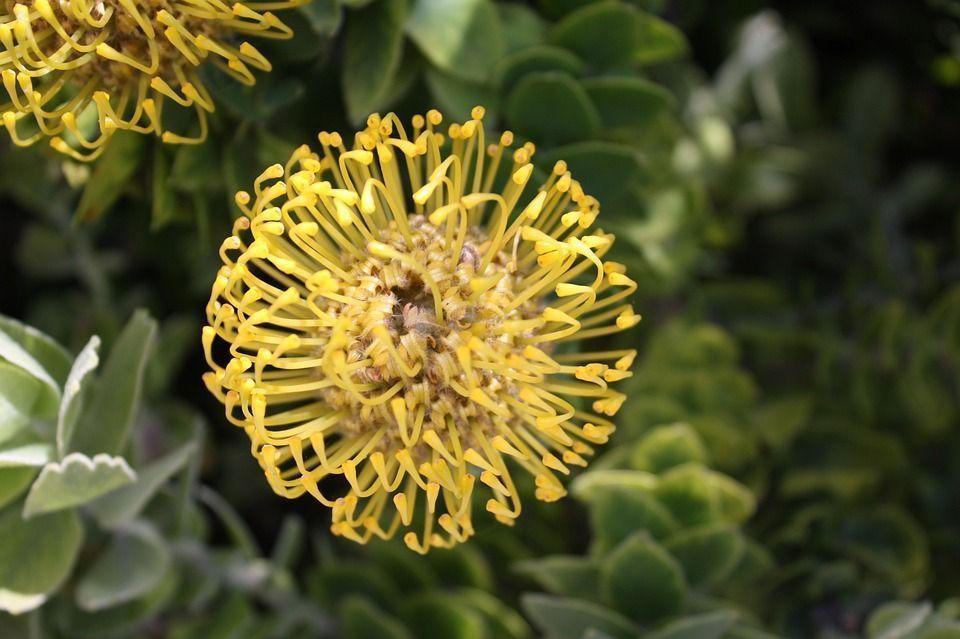 Leucospermum cordifolium planta
