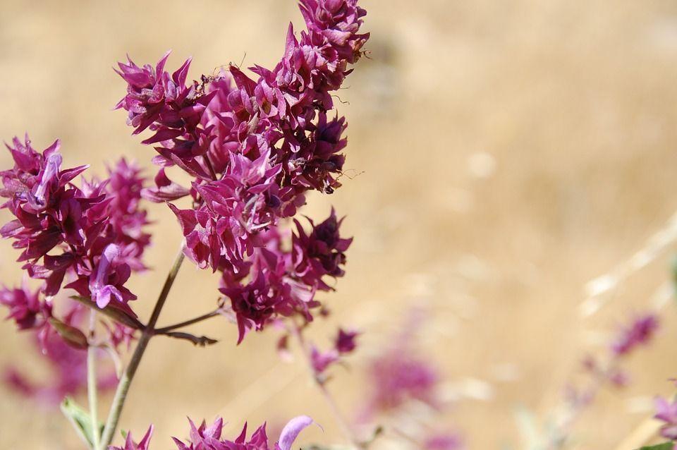 Salivia canariensis