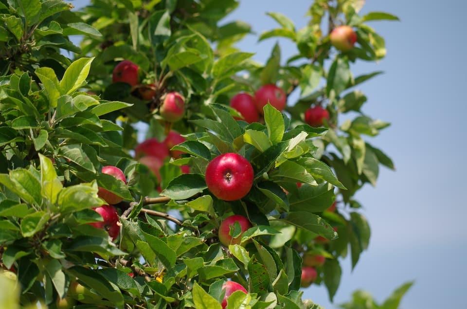 Variedades del manzano