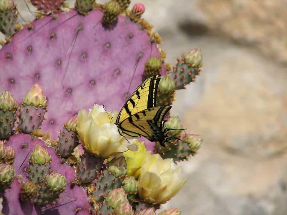 Cactus mariposa