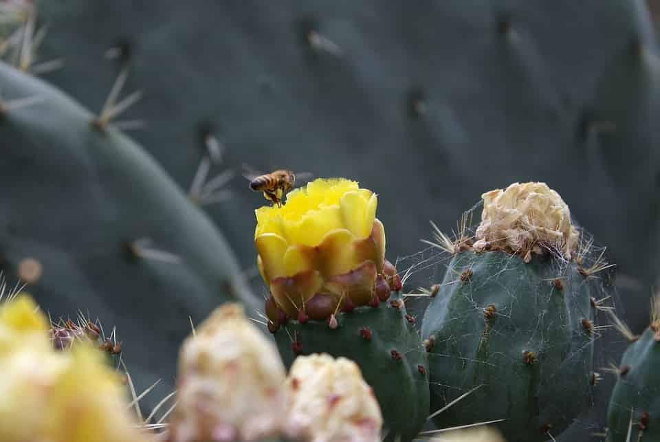 Suculenta abeja