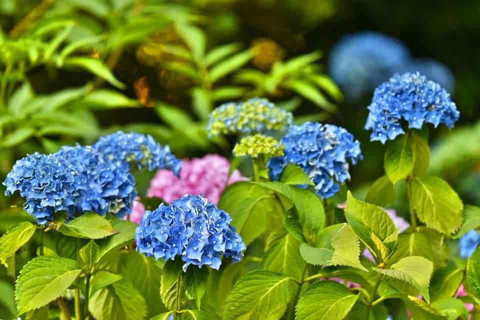 Cultivo hortensias