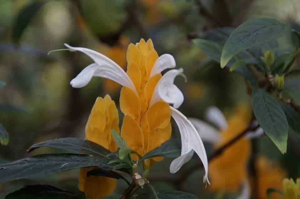 Pachystachys lutea planta